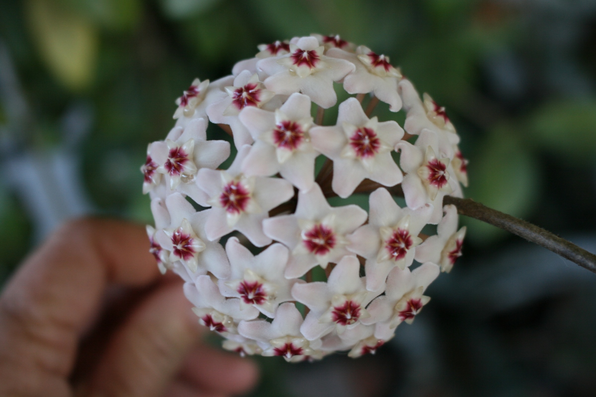 Hoya (Wax Flower)